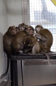 Macaque rhésus en enclos